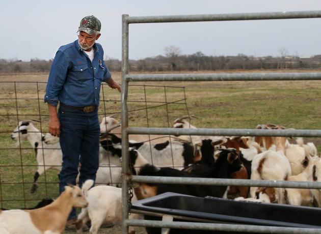 Gordon Sassman lets in his goats at the end of the day.